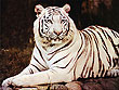 Wildlife Tours in Orissa | Wildlife of East India | White Tiger in Orissa