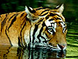 Wildlife Tourism in India | Wildlife Tours in India | Corbett Wildlife | Wildlife in Corbett | Tiger in Water | Tiger Tour Corbett