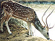 Deer in Sariska National Park